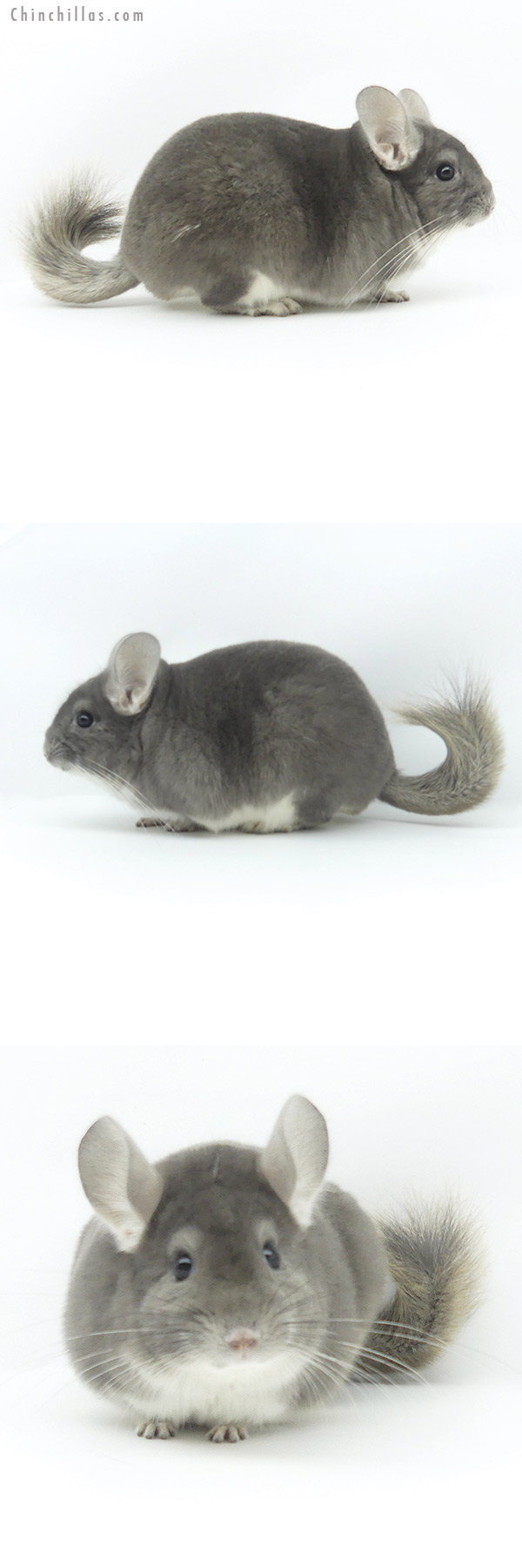 19381 Top Show Quality Violet Male Chinchilla